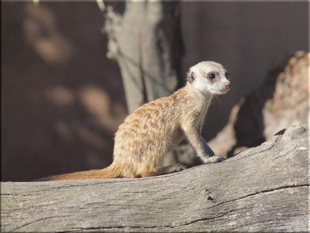 Leinwanddrucke Erdmännchen: Baby Erdmännchen auf Baumstamm