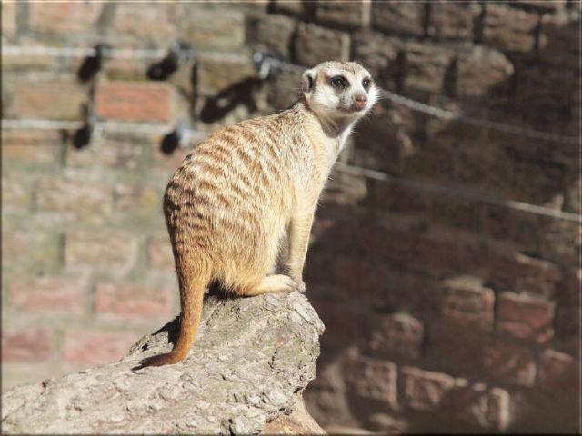 Leinwanddrucke Erdmännchen: Erdmännchen auf Baumstumpf